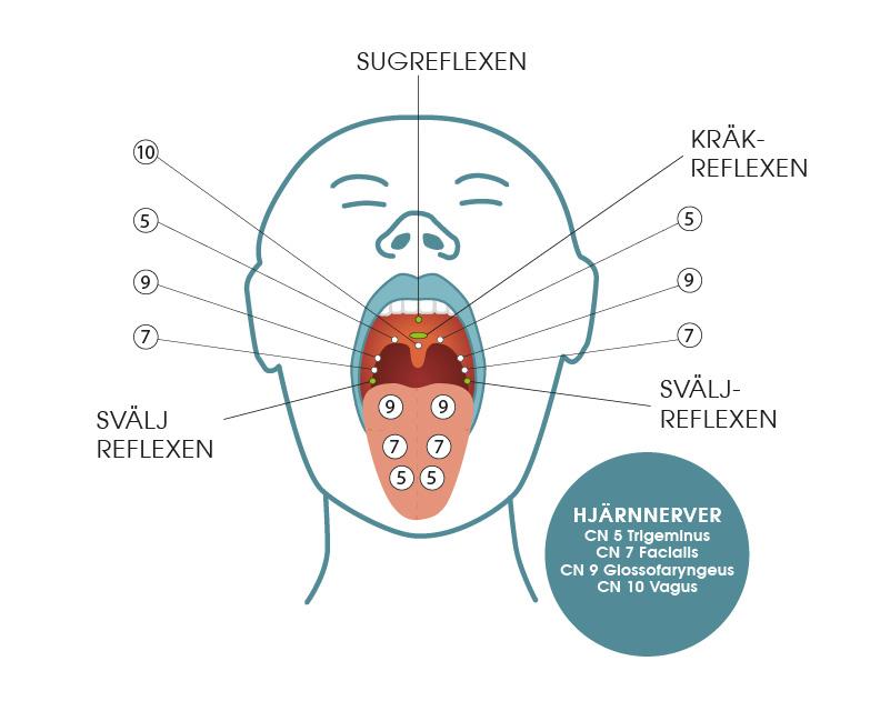 Nervernas placering i munnen