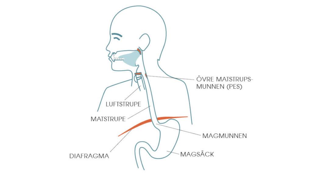 Diafragman delar överkroppen i två delar och kontrollerar magsäckens position.