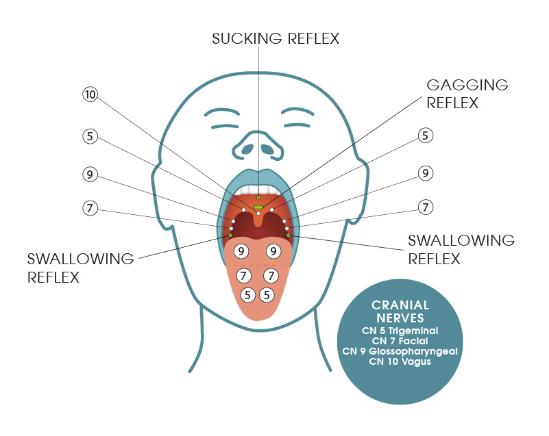 Sensory nerves stimulated from the oral cavity by IQoro